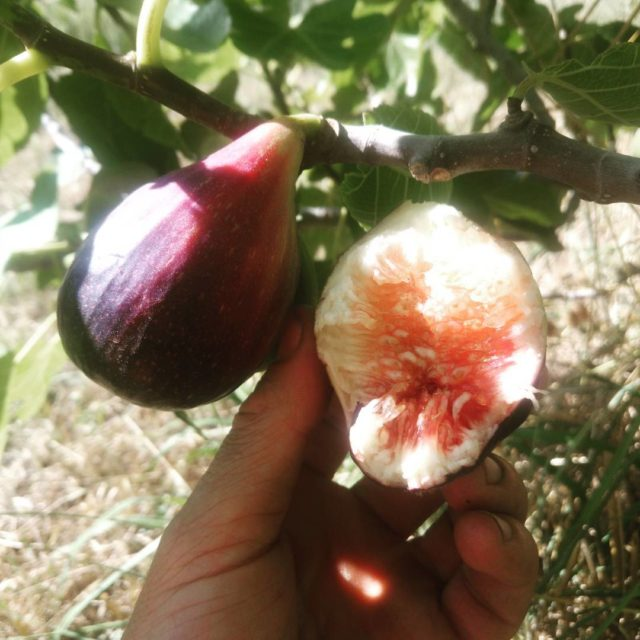 Nothing like eating your first fig of the season Thenhellip