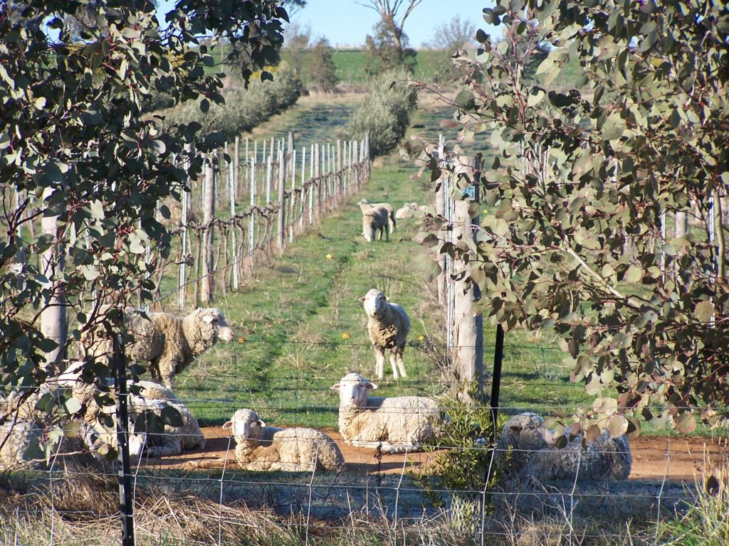 Sheep-In-Vines