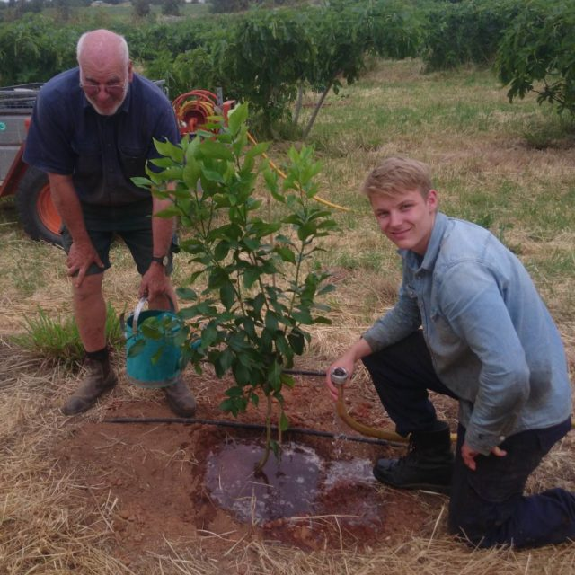 Richard and Oscar planting 30 lemon trees amongst the fighellip
