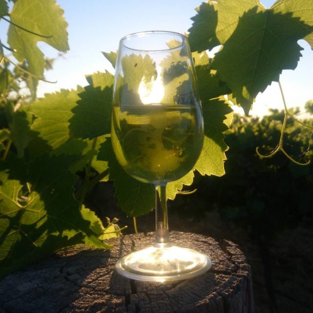 Little Sunday afternoon Chardonnay in the vineyard