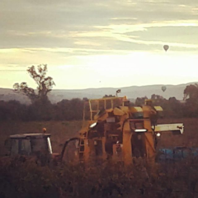 Harvesting grenache with balloon views canowindraballoonchallenge