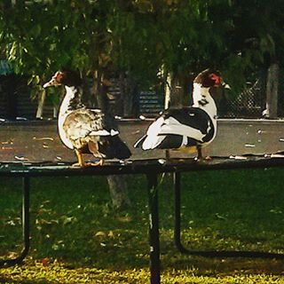 Synchronised Gymnastic Ducks!! And now for their trampoline routine!! happyduckshellip