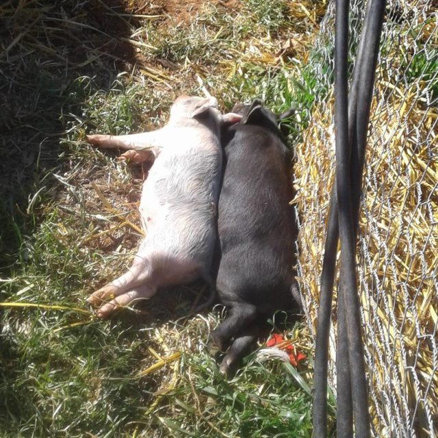 Spooning in the sun so good for the spirit happypigshellip