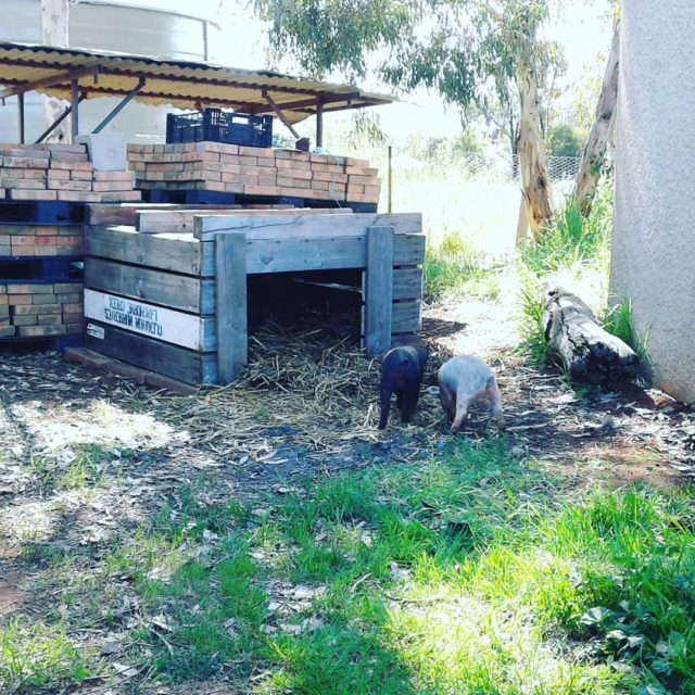 Pigs new digs rosnayorganic canowindra happypigs