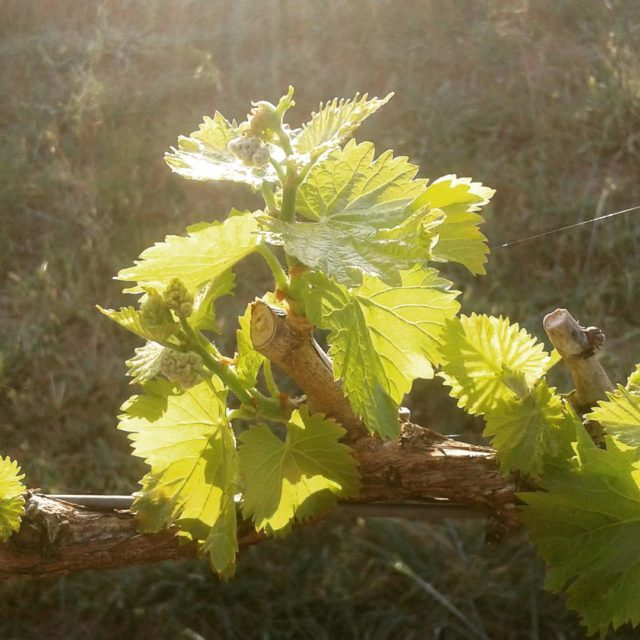 Good morning grenache on my birthday The new vines gaininghellip