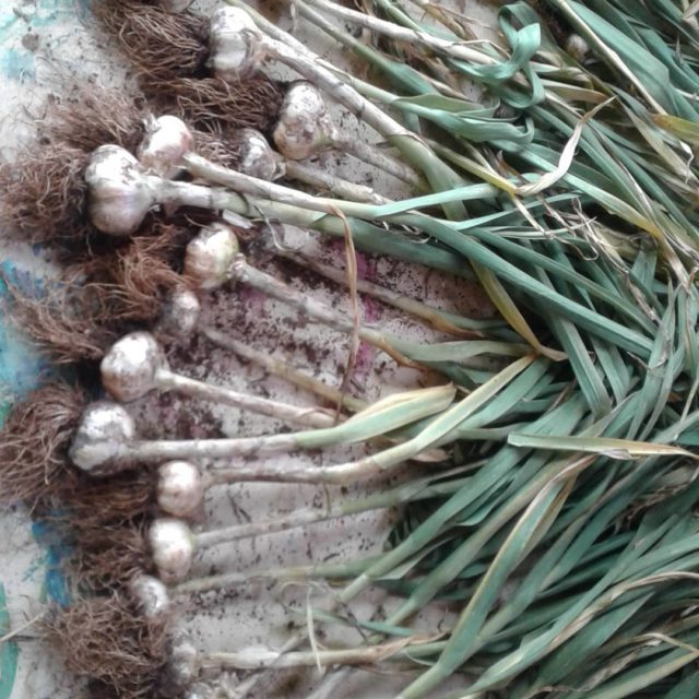 Garlic harvest super proud of our little crop rosnayorganic organicgarlichellip
