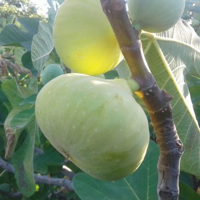 Our first figs of the season are now on theirhellip