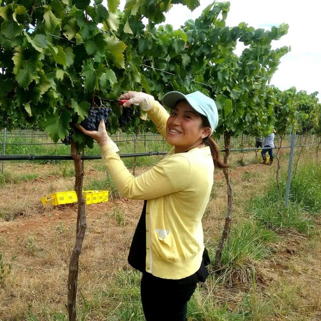 So careful and delicate Yukas Vermentino grape picking is ahellip